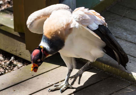 wierd: One of Africas more odd creatures, the King Vulture has a colorful face and neck. Definately stands out in a crowd.