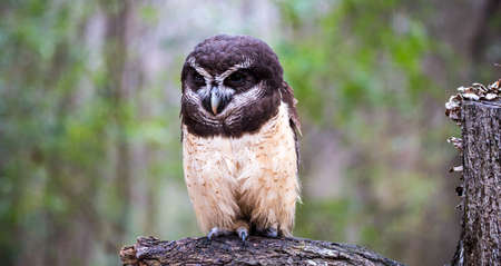 spectacled: A spectacled owl gives a hard stare at the Carolina Raptor Center. North Carolina