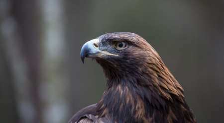 intimidating: A Golden Eagle Searches for prey at the Carolina Raptor Center.