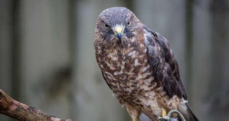 raptor: A Broad-Winged Hawk in a tree. Carolina Raptor Center.