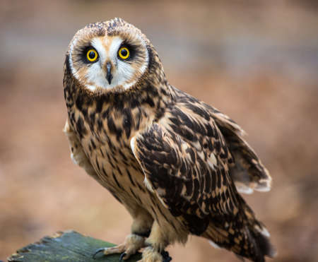 raptor: A portrait of a short eared owl on a spring day. Carolina Raptor Center, North Carolina