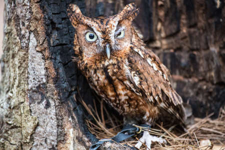 hallowed: An Eastern Screech Owl in a hallowed out tree. Blending into the surroundings.