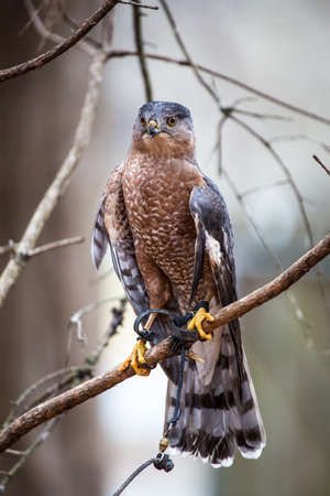 amputated: A Coopers Hawk with a damaged and partially amputated beak. Carolina Raptor Center.