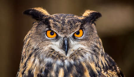 An adult Eurasian Eagle Owl in all of its majesty. Piercing orange eyes and wide wing span. Carolina Raptor Center 版權商用圖片