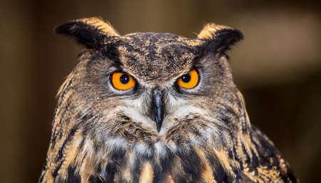 Ein ausgewachsener Uhu in all seiner Majestät. Piercing orange Augen und breite Spannweite. Carolina Raptor Center