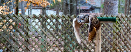 wing span: An adult Eurasian Eagle Owl in all of its majesty  Piercing orange eyes and wide wing span  Carolina Raptor Center