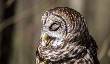 A Barred Owl portrait on a spring day. Carolina Raptor Center, North Carolina photo
