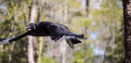 scavenger: A common Black Vulture the scavenger bird seen often on the side of the road
