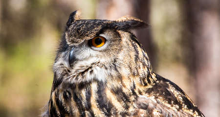 wing span: An adult Eurasian Eagle Owl in all of its majesty. Piercing orange eyes and wide wing span. Carolina Raptor Center Stock Photo