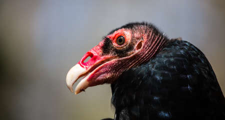 turkey vulture: The odd faced Turkey Vulture as he hangs out in the sun.