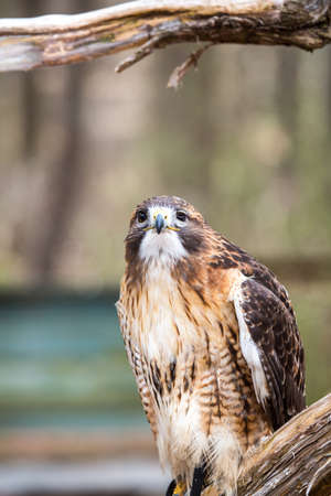red tailed hawk: A Red Tailed Hawk searches for his next meal. Carolina Raptor Center.