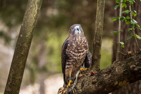 raptor: A Broad-Winged Hawk in a tree. Carolina Raptor Center.