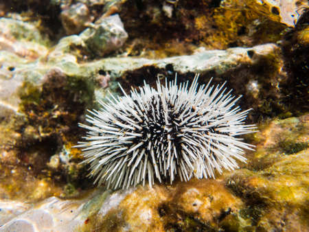 A sea Urchin underwater. Taken in the Caribbean sea off the coast of Curacao.