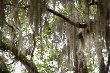 Moos hängt an den Eichen von Savannah