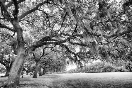 Süd-Live-Eichen in Sapanish Moss, die wachsen in historischen Plätzen Savannah. Savannah, Georgia