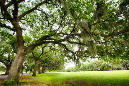 Southern Live Oaks covered in Sapanish Moss growing in Savannahs historic squares. Savannah, Georgia