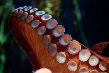 Detaillierte Schuss von einem gemeinsamen Octopus inder Atlanta Aquarium.