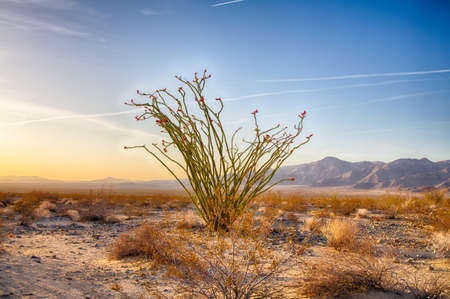 joshua tree national park: Ocotillo Cactus Blossoming in Spring, Joshua Tree National Park, California.