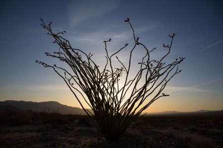 ocotillo: Ocotillo Cactus Blossoming in Spring, Joshua Tree National Park, California.