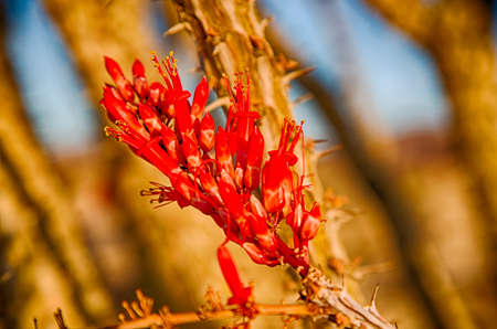 Ocotillo Cactus Blossoming in Spring, Joshua Tree National Park, California. photo