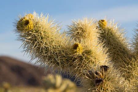 cholla: Cholla Cactus Garden in the early morning light. Joshua Tree National Park, California Stock Photo
