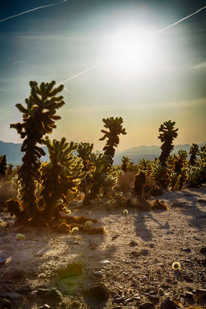 cholla cactus: Cholla Cactus Garden in the early morning light. Joshua Tree National Park, California Stock Photo