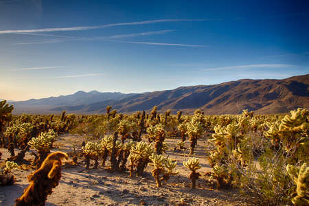 cholla cactus: Cholla Cactus Garden in the early morning light. Joshua Tree National Park, California Stock Photo