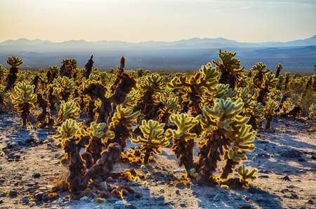 joshua tree national park: Cholla Cactus Garden in the early morning light. Joshua Tree National Park, California Stock Photo
