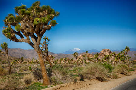 joshua tree national park: Boulders and Joshua Trees in Joshua Tree National Park, California.