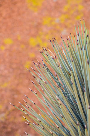 national plant: A yucca plant against a mottled rock wall. Joshua Tree National Park