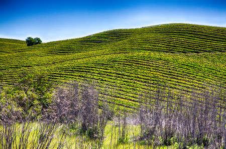 ローリング ・ ヒルズ、カリフォルニア ワインの国のブドウ栽培のブドウ畑の中の行に行で覆われています。