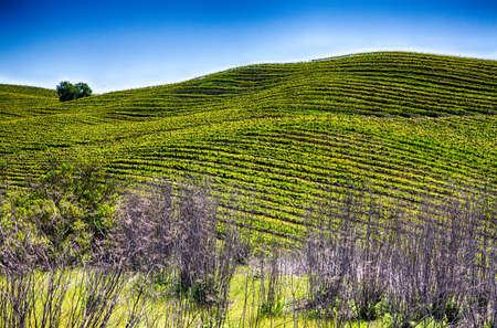 cultivated: Rolling hills covered with row upon row of grape vines in the cultivated vineyards of California wine country. Stock Photo