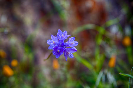 merced: Blue Wildflowers in the Merced River Canyon. California Stock Photo