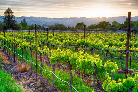 Sonnenuntergang über Weinbergen im kalifornischen Weinanbaugebietes. Sonoma County, Kalifornien