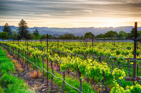 vi�edo: Puesta de sol sobre los vi�edos de la regi�n vin�cola de California. Condado de Sonoma, California