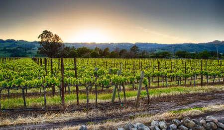 Puesta de sol sobre los viñedos de la región vinícola de California. Condado de Sonoma, California Foto de archivo - 31815567