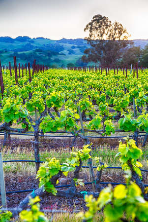wine country: Sunset over vineyards in Californias wine country. Sonoma county, California