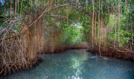 A mangrove swamp on Colombias Caribbean coast serves as home to many aquatic creatures. 版權商用圖片