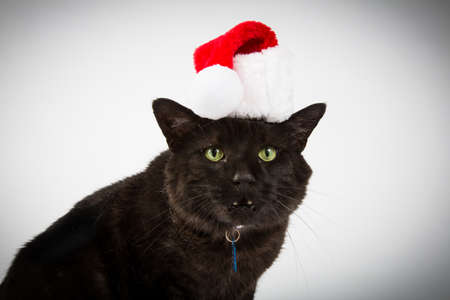 housecat: A black housecat in a red and white santa hat on white background. Stock Photo