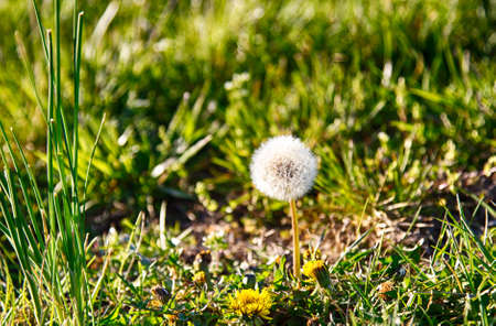 fescue: Dandelions gone to seed in the early evening light on a sunny spring day.