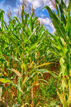 Detail of a corn crop in rural Pennsylvania. Stock Photo