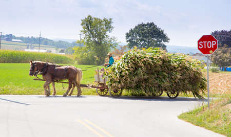 amish: Lancaster, Pennsylvania - September 10, 2016 - Amish men harvest corn the traditional way with horse and cart. Editorial