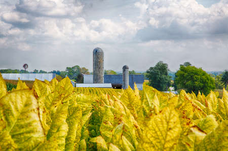 amish: Tobacco fields in Lancaster County, Pennsylvania on Amish farms. Stock Photo