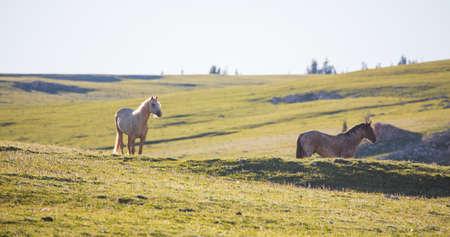 Wild horses range the Pryor Mountains outside Lovell, Wyoming.