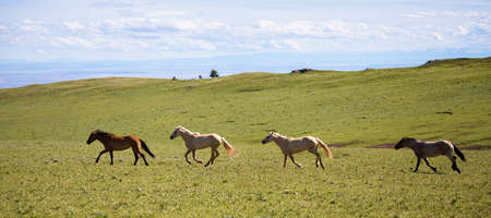 Wild horses range the Pryor Mountains outside Lovell, Wyoming.