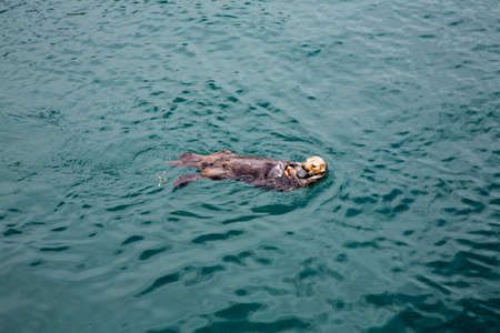 A sea otter cracks shells while floating in Monterey Bay.