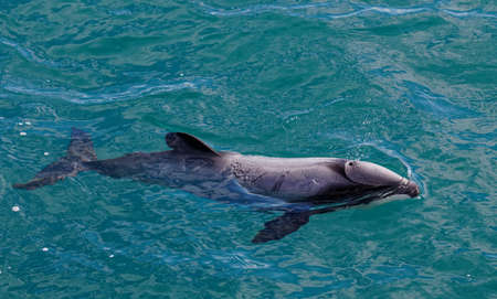 Hectors dolphin, endangered dolphin, New Zealand. Cetacean endemic to New Zealand