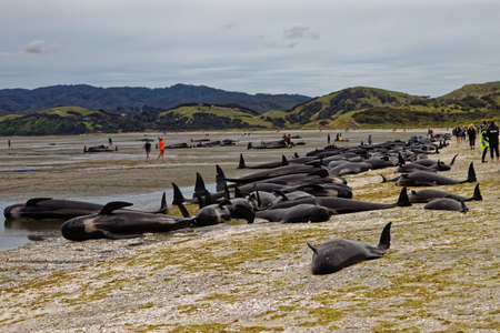 Stranded pilot whales beached on Farewell Spit at the northern tip of New Zealands South Island Stock Photo