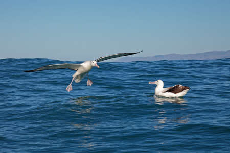 Southern royal albatross, landing on the ocean, Kaikoura, New Zealand
