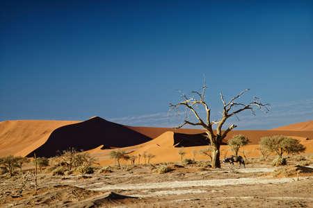 Sossusvlei Namibia, an Oryx ambles into the scene beside a camelthorn tree 版權商用圖片